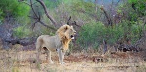 Loin Safari Long