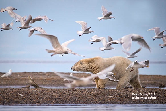 Polar Bear photography