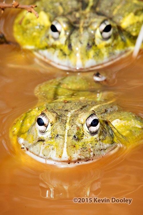 African dwarf Bull frog