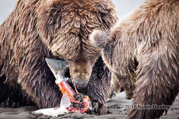 Brown Bear Photography Workshop