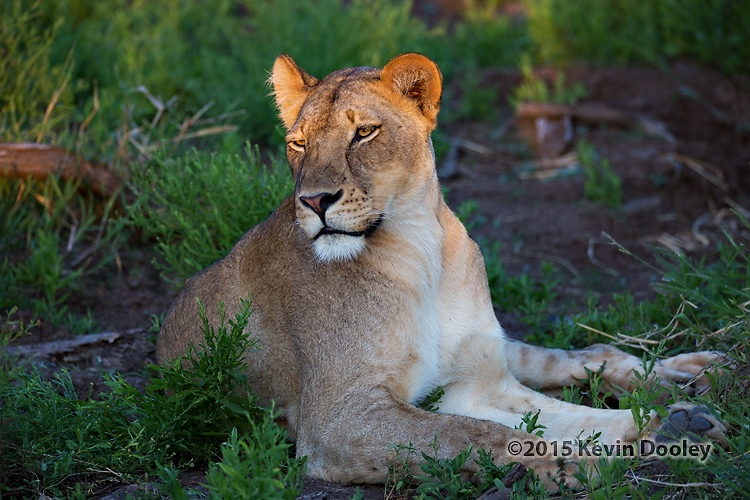 Safari Photography Lions
