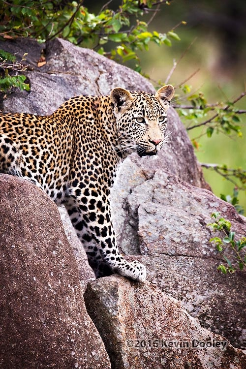 Leopard Photography on Safari