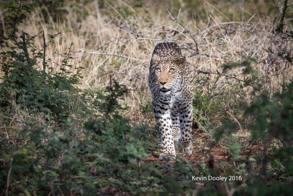 Kast Minute Leopard