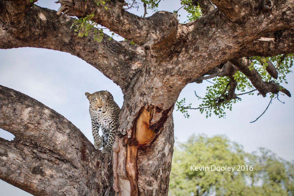 Last Minute Leopard