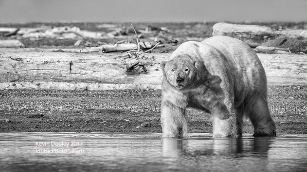 Polar Bear Photography Tour