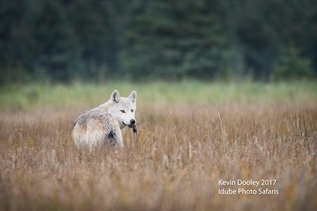 Wolf Safari Idube