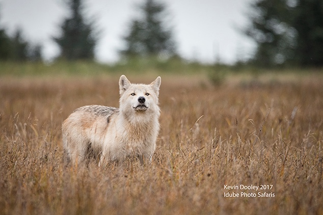 Alaskan Wolf Sighting.