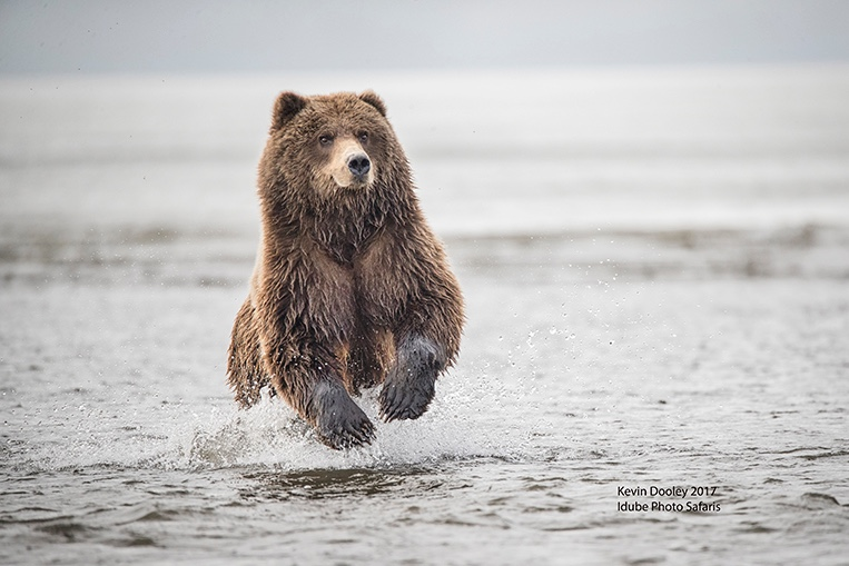 Alaska Costal Brown Bears photography