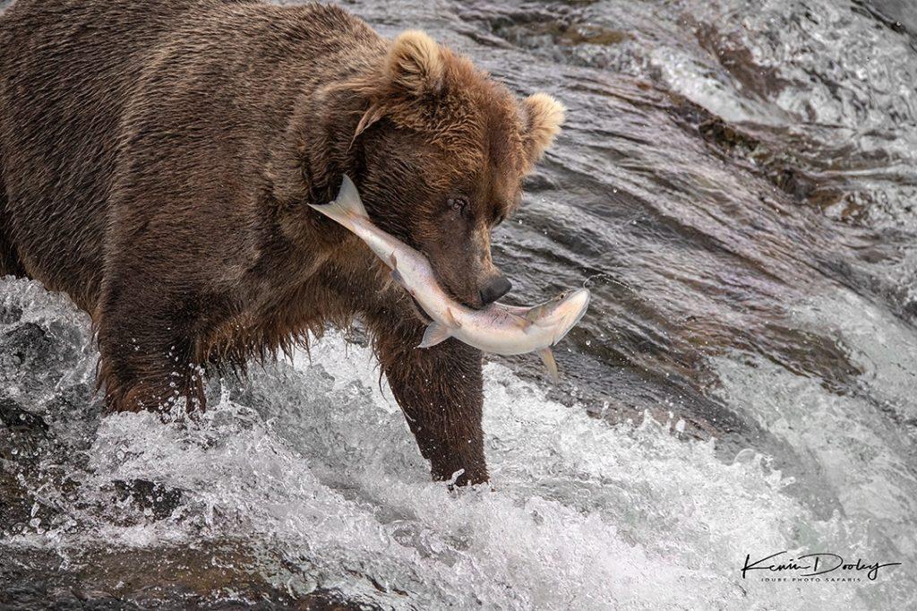 Bear Photography in Alaska