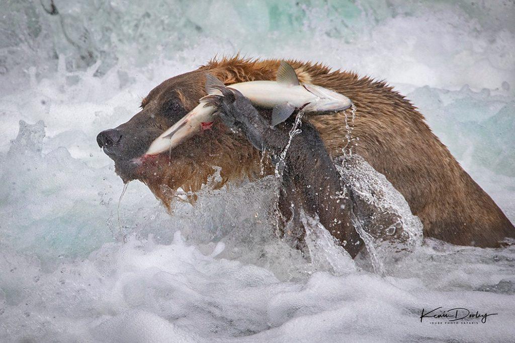 Bear photography Workshops