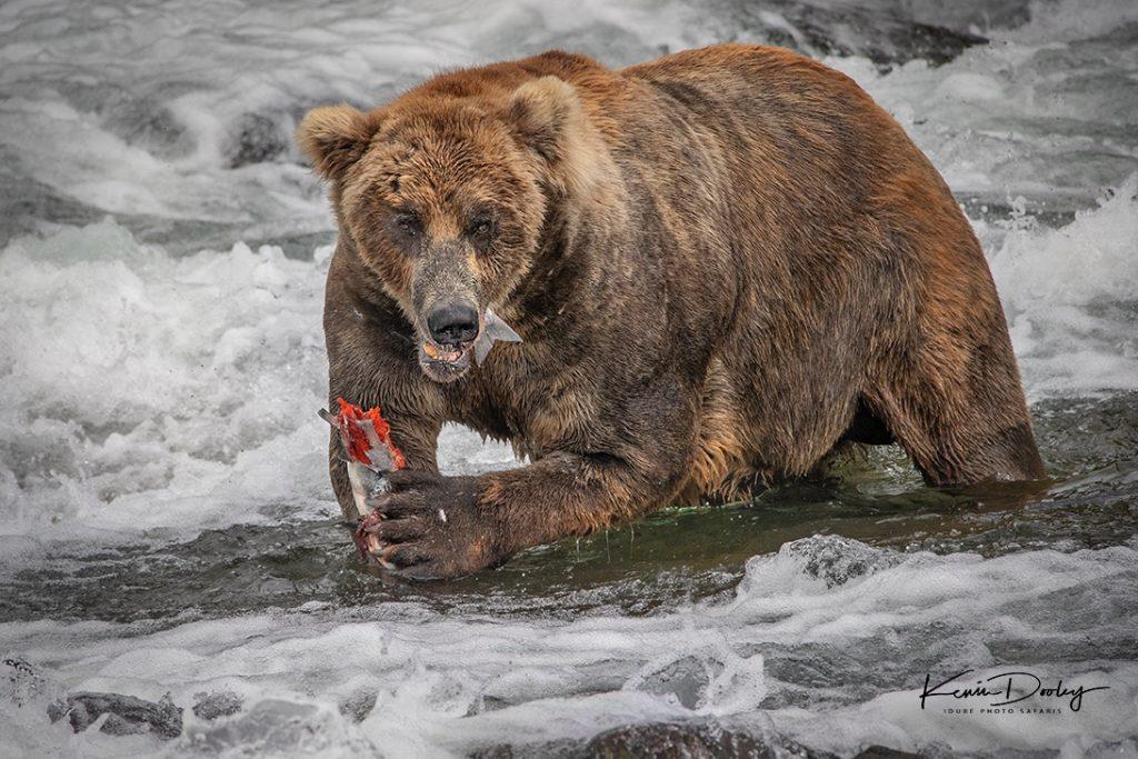 Alaska Brown Bear photos