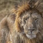 Idube Lion