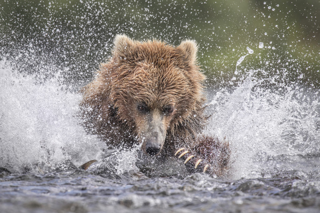 Brown Bear photography of Alaska