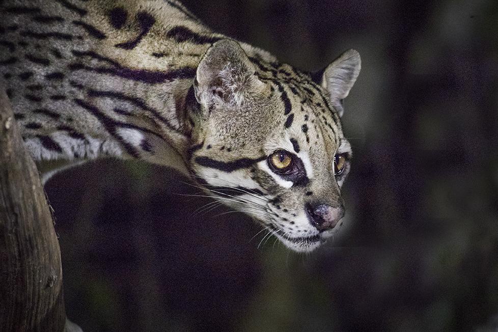 Ocelot Pantanal Tour