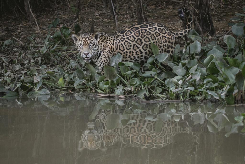 Jaguars of the Pantanal Photography Tour