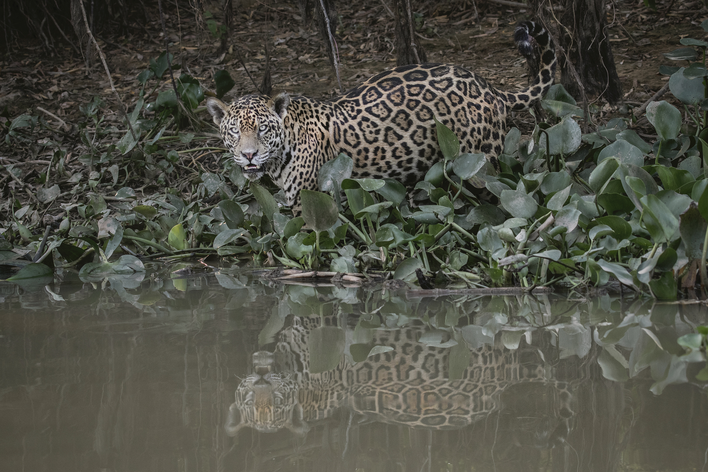 Jaguars of the Pantanal Photography Tour