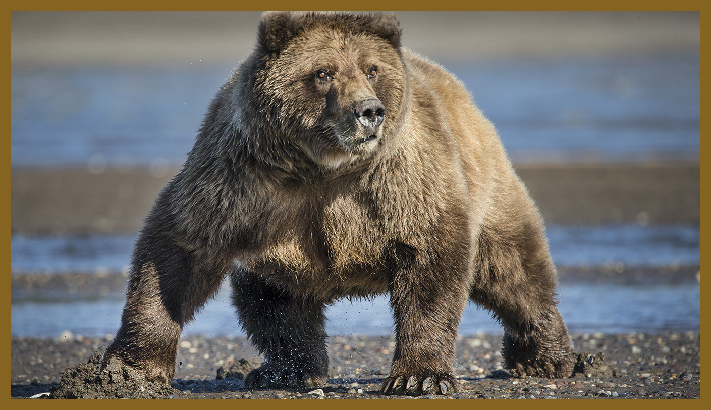 Costal brown Bears Photography Tour