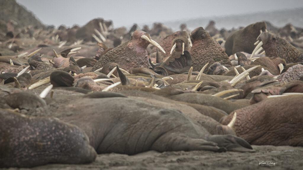 Herd of Walrus Alaska