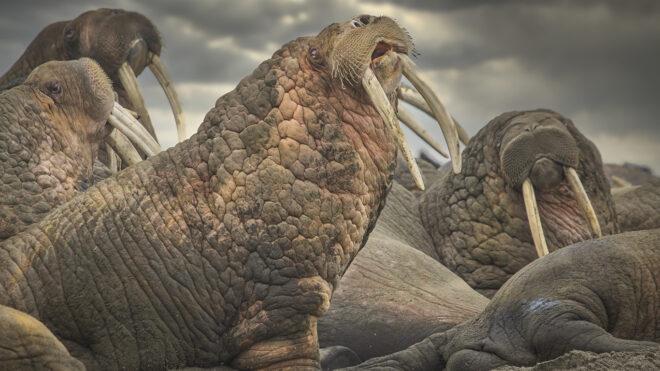 Photographing Walrus in wild Alaska