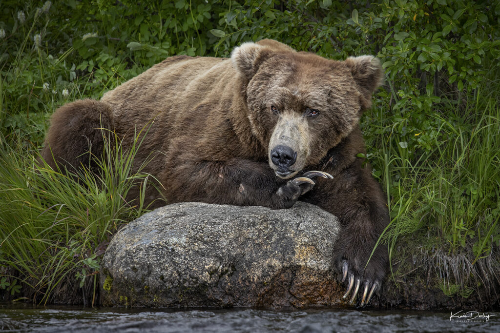 Brown Bear Photography Alaska
