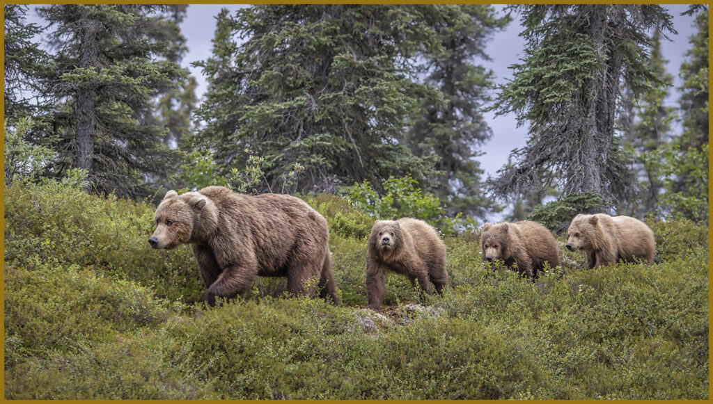 Brown Bear photography of Alaska