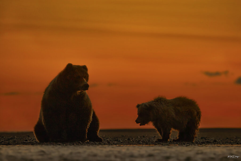 Brown bears at sunrise