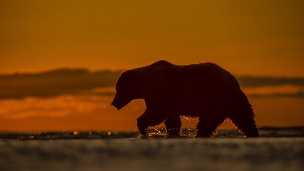 Bears at Sunrise