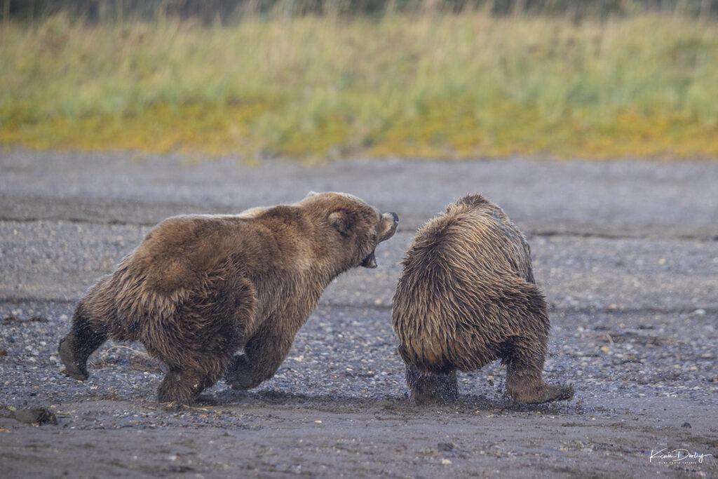 Brown Bear photography Alaska