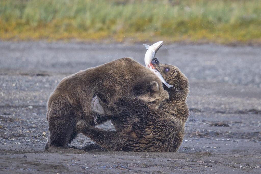 Photographing brown bears in Alaska