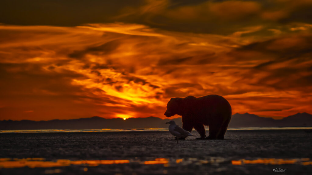 Alaska Brown Bear tour