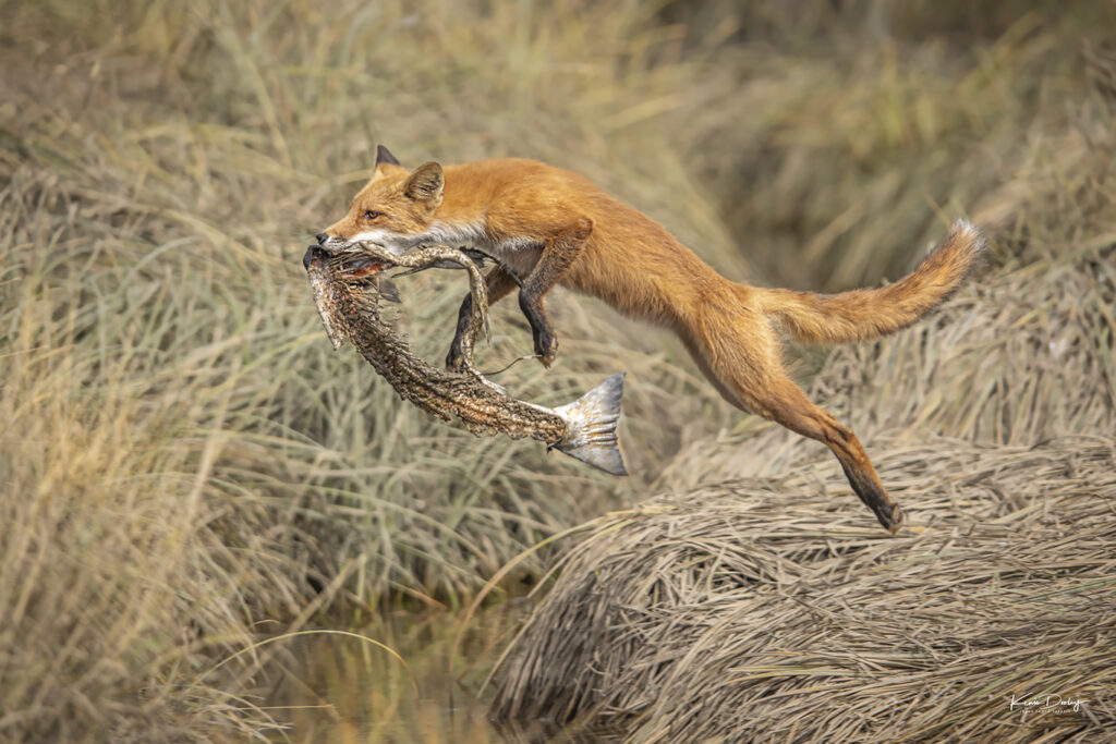 Jumping Fox photograph