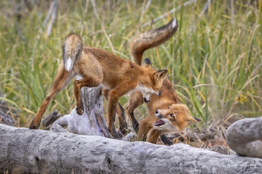 Alaska Fox photos