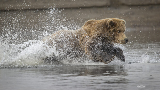 Photographing Coastal Brown Bears