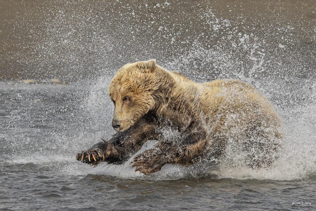 Brown Bear photography