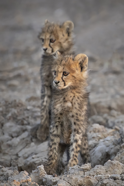 Remembering Cheetahs Cubs