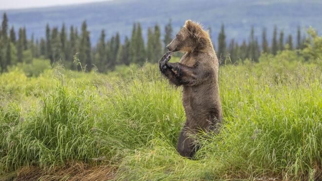 Brown Bear Photography in Alaska